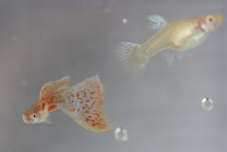 Jual Guppy Albino Red Grass,  Harga Guppy Albino Red Grass,  Toko Guppy Albino Red Grass,  Diskon Guppy Albino Red Grass,  Beli Guppy Albino Red Grass,  Review Guppy Albino Red Grass,  Promo Guppy Albino Red Grass,  Spesifikasi Guppy Albino Red Grass,  Guppy Albino Red Grass Murah,  Guppy Albino Red Grass Asli,  Guppy Albino Red Grass Original,  Guppy Albino Red Grass Jakarta,  Jenis Guppy Albino Red Grass,  Budidaya Guppy Albino Red Grass,  Peternak Guppy Albino Red Grass,  Cara Merawat Guppy Albino Red Grass,  Tips Merawat Guppy Albino Red Grass,  Bagaimana cara merawat Guppy Albino Red Grass,  Bagaimana mengobati Guppy Albino Red Grass,  Ciri-Ciri Hamil Guppy Albino Red Grass,  Kandang Guppy Albino Red Grass,  Ternak Guppy Albino Red Grass,  Makanan Guppy Albino Red Grass,  Guppy Albino Red Grass Termahal,  Adopsi Guppy Albino Red Grass,  Jual Cepat Guppy Albino Red Grass,  Kreatif Guppy Albino Red Grass,  Desain Guppy Albino Red Grass,  Order Guppy Albino Red Grass,  Kado Guppy Albino Red Grass,  Cara Buat Guppy Albino Red Grass,  Pesan Guppy Albino Red Grass,  Wisuda Guppy Albino Red Grass,  Ultah Guppy Albino Red Grass,  Nikah Guppy Albino Red Grass,  Wedding Guppy Albino Red Grass,  Flanel Guppy Albino Red Grass,  Special Guppy Albino Red Grass,  Suprise Guppy Albino Red Grass,  Anniversary Guppy Albino Red Grass,  Moment Guppy Albino Red Grass,  Istimewa  Guppy Albino Red Grass,  Kasih Sayang  Guppy Albino Red Grass,  Valentine  Guppy Albino Red Grass,  Tersayang Guppy Albino Red Grass,  Unik Guppy Albino Red Grass,