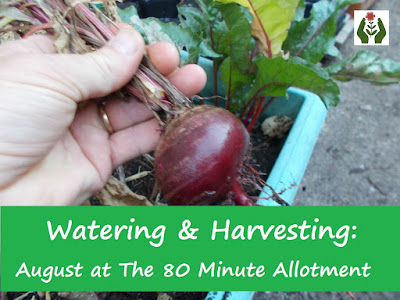Watering and Harvesting: August on The 80 Minute Allotment