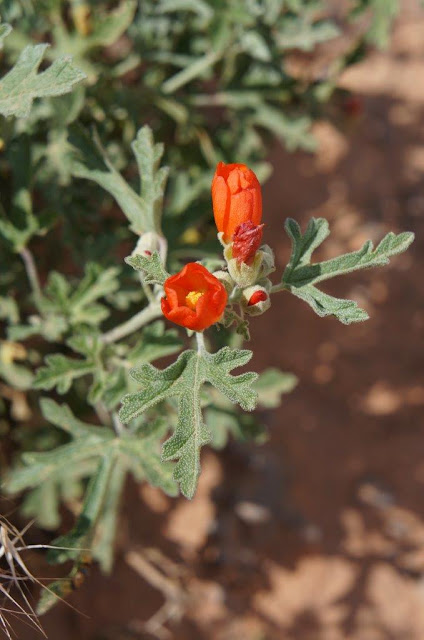 Flower Blooming in Snow Canyon State Park, Utah.