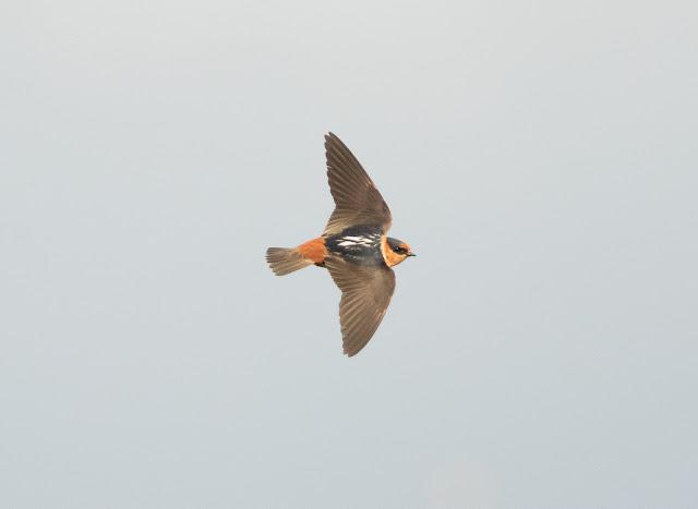 Cave Swallow - Cutler Bay, Florida