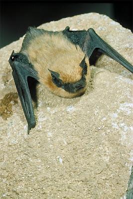 pipistrelo occidental Pipistrellus hesperus