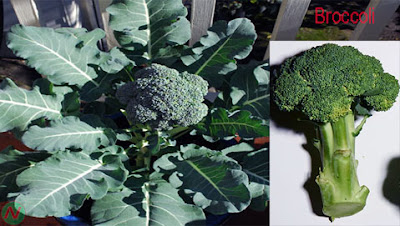 broccoli; broccoli vegetable