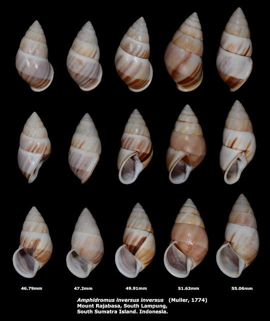 Amphidromus inversus inversus 46.79mm to 55.06mm