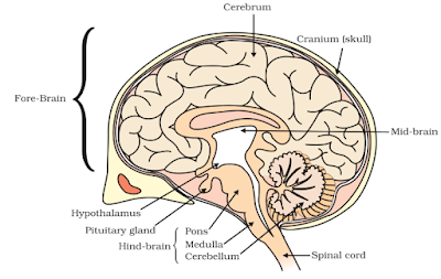 Notes of ch 7 control and coordination class 10th science study iii hind brain ccuart Images