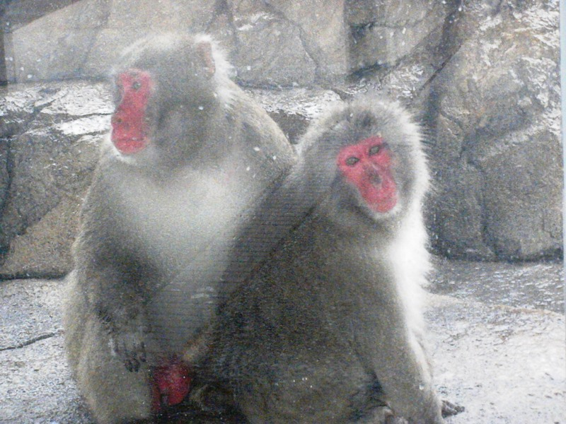 The Zoo Review: Species Fact Profile: Japanese Macaque (Macaca fuscata)