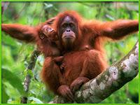 Orangutan Pictures Pongo pygmaeus