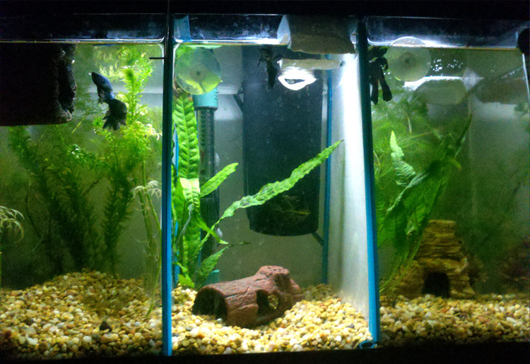 my tanks with live plants jabu jabu was initially in his 10 gallon