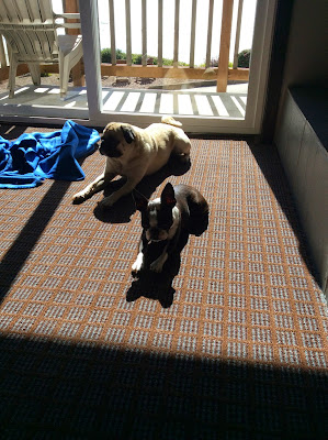 Pug and Boston terrier resting in the sunshine
