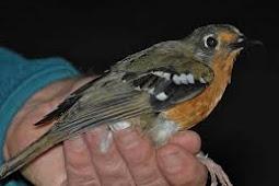 Burung pendamping agar anis kembang bersuara ngeplong