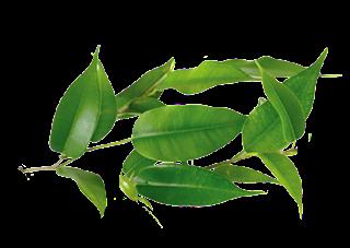 melaleuca alternifolia tea tree oil