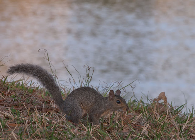 Small brown and gray squirrel at pond's edge.