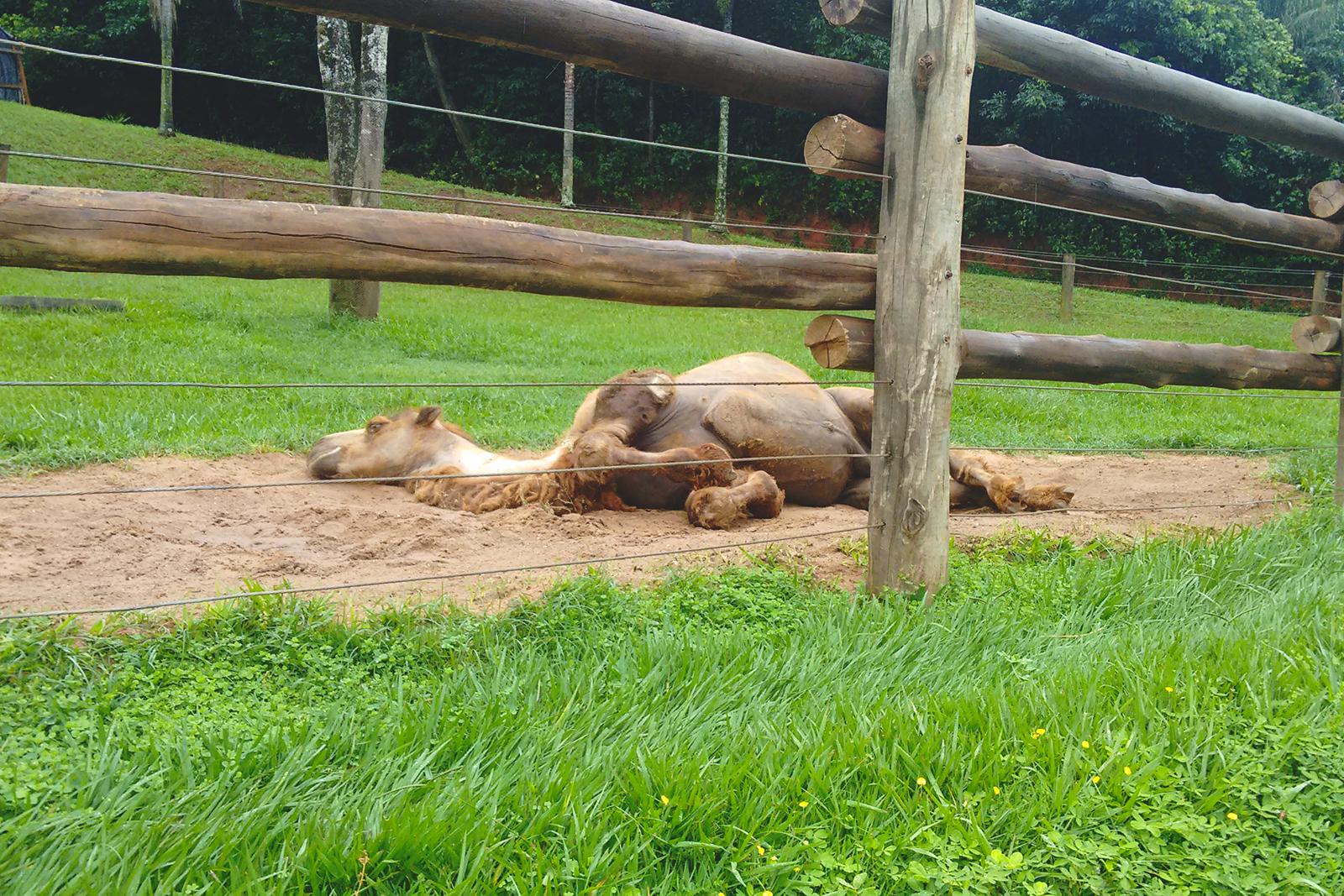 camelo deitado dormindo