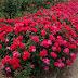 Drift roses vs knockout roses
