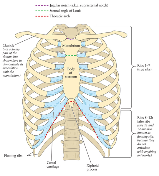 Rib Cage Bone Diagram 240 Vac Wiring Posterior Chest Free For You Human Anatomy The Artist Thoracic Halloween Cavity Diagrams
