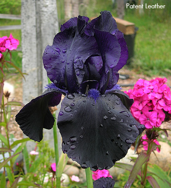 The Schreiners Did Another Of My Favorite Black Irises In 1996 With Their Old Magic This Variety Never Fails To Cast A Spell On Visitors