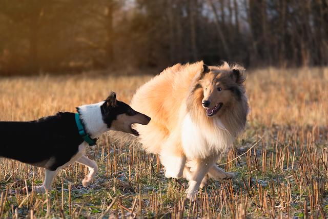 leikkivät koirat