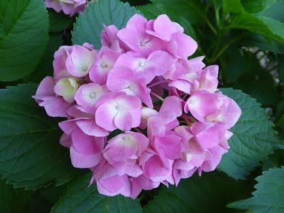 山田池公園のあじさい園 ピンク色っぽいあじさい