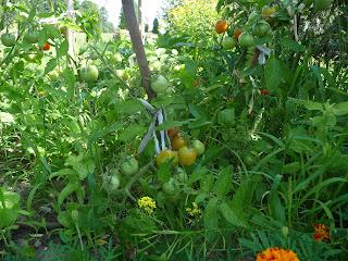 pomidory z ogródka