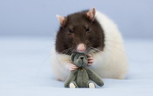 Las ratas más bonitas del mundo.