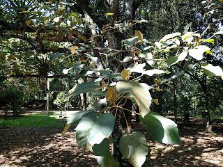 Sangregado – crotón bogotanus colombia andes tree arbol leaves bark