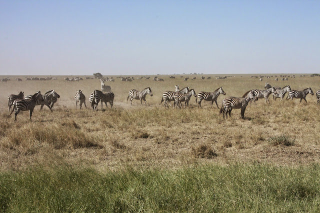 tansania safari afrikka matka seepra