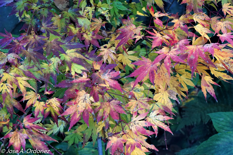 El Jardín De La Barrosa Arces Japoneses En La Barrosa