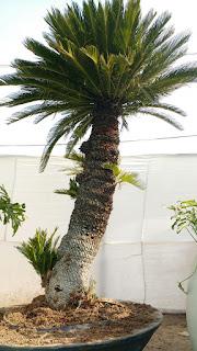 cycus palm ahmedabad