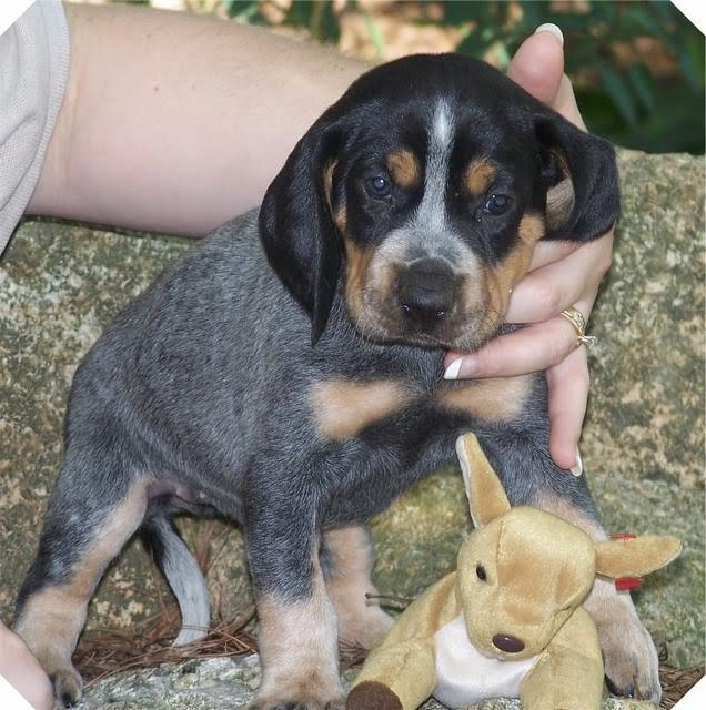 bluetick puppies cute puppy pictures 4301