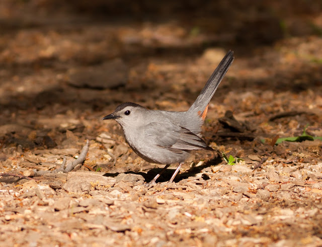 Gray Catbird - Central Park, New York