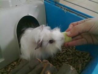 cobaya comiendo pepino