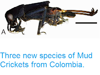 http://sciencythoughts.blogspot.co.uk/2015/05/three-new-species-of-mud-crickets-from.html