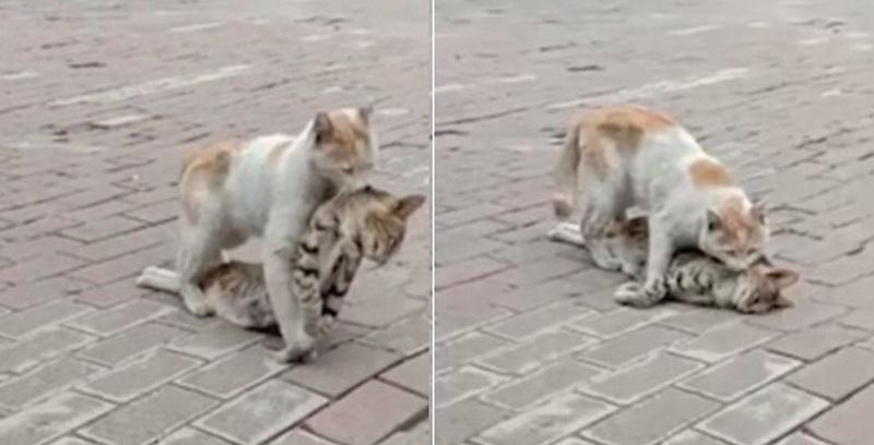 Γατούλα αρνείται να αφήσει τον νεκρό φίλο της πίσω στον δρόμο και τον παίρνει μαζί της  (βίντεο)