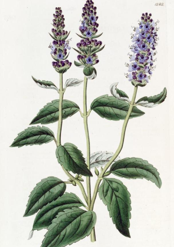 Planting hyssop - living the Torah Portions | Land of Honey