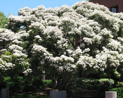 Melaleuca%2Blinarifolia.jpg