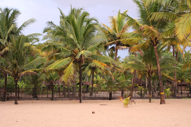 White sand and the serene coconut trees of Marari beach
