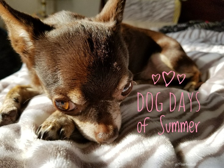 Tootsie The Chi soaking up the air conditioning on the dog days of Summer