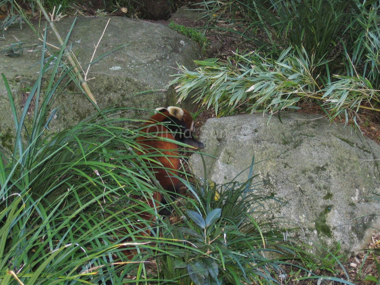 Panda Rouge Taronga Zoo, Sydney, Australie