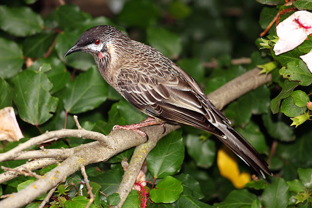 Red-Wattle-bird.jpg