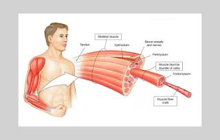 struktur dan komponen otot