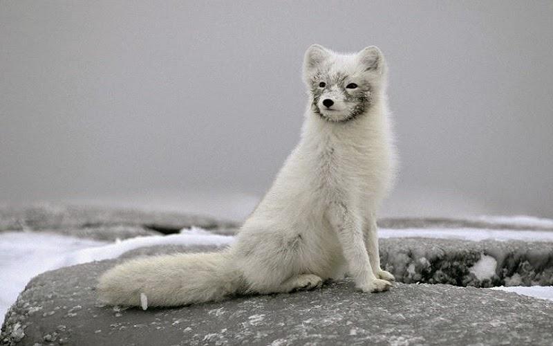 El zorro polar (Alopex lagopus), también llamado zorro ártico, zorro blanco o zorro de las nieves, es un pequeño cánido que habita en huras a lo largo y ancho de la tundra, generalmente en laderas. Su principal alimento consiste en pequeños mamíferos y aves, aunque su presa favorita es el lemming.