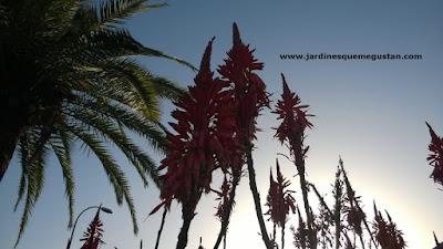 Inflorescencia de Aloe arborescens