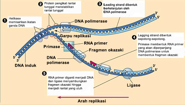 proses replikasi dna