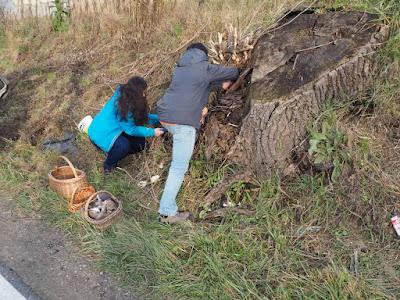 grzyby 2016, grzyby zimowe, grzyby w listopadzie, patriotyczne grzybobranie, grzyby w Małopolsce, boczniak ostrygowaty