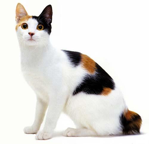 animals  Melhores Raças de Gatos para sua Família