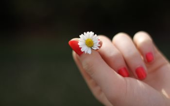 Wallpaper: Daisy in the hand of a girl