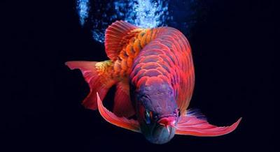 Ikan Arwana Super Red - Budidaya Ikan Arwana