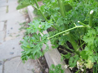 Close-up of herb.