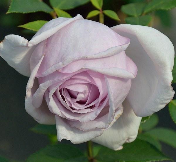 Sandra Renaissance сорт розы фото