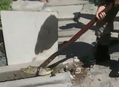 Jacaré-de-papo-amarelo é resgatado de galeria de esgoto em Goiana-PE