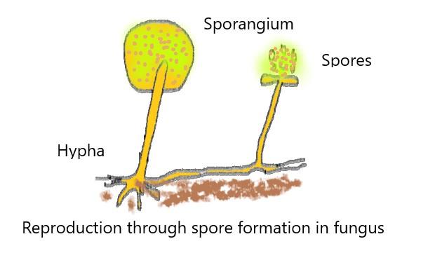 Ameboides reproduccion asexual